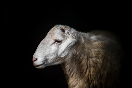 pecora: Bianco pecore ritratto su sfondo nero.
