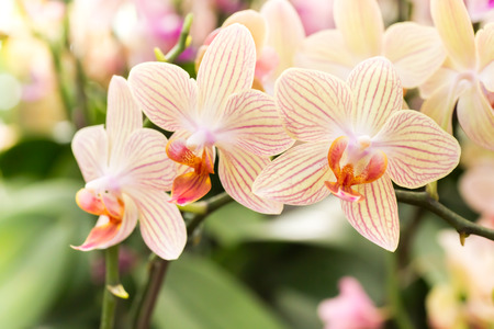 Streaked orchid flowers. Beautiful orchid flowers. 스톡 콘텐츠