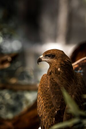 red tailed hawk: Falcon calm nature. A red tailed hawk. Stock Photo