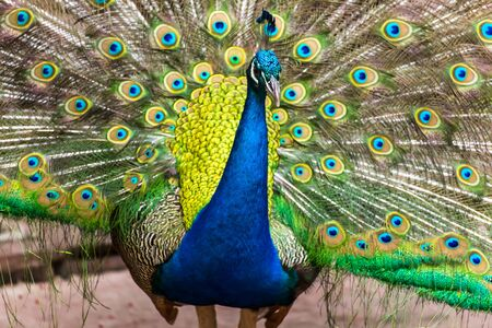 peacock: Portrait of peacock with feathers out. Stock Photo
