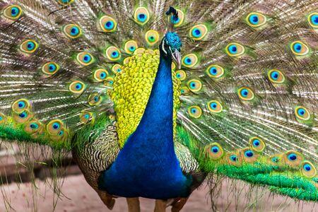 pavo real: Retrato de pavo real con plumas fuera. Foto de archivo
