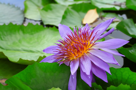 nature beauty: Beautiful waterlily or lotus flower. Beauty in nature. Stock Photo