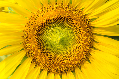 a sunflower: Sunflower natural background. Sunflower blooming.