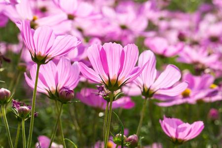 sepals: Blossom pink flower in the garden.