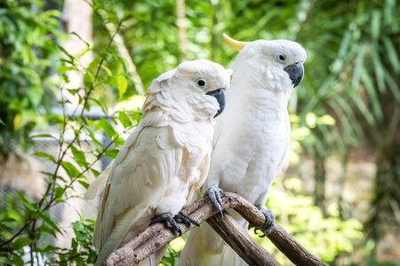 the two parrots: White cockatoo in the park. Two parrots on a small branch. Stock Photo