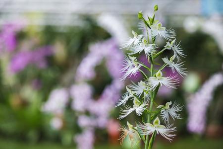 florescence: Blossom white flower in the garden.