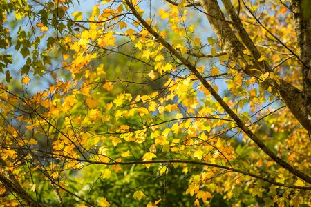 many branches: Maple trees are changing color. Leaves many branches, autumn maple leaves. Stock Photo