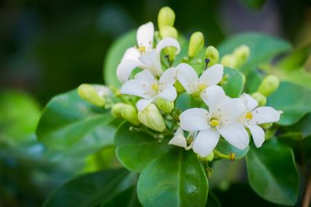 jessamine: White flower, Orange Jessamine (Murraya paniculata) or China Box Tree.