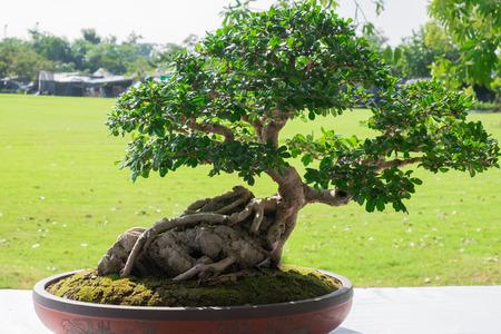 盆栽や東洋の伝統、木盆栽がインテリア、ランドス ケープ デザインの古典的な要素のイチジク。