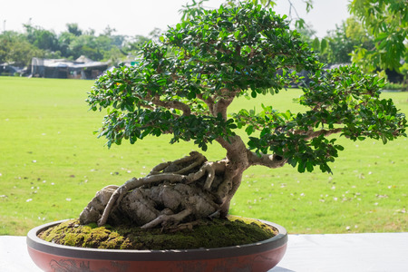 Bonsai or Ficus in the eastern tradition, trees bonsai are classic elements of interior and landscape design. Stock Photo