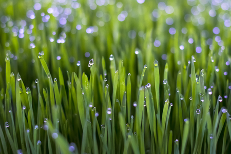 Fresh wheat grass organic with drop dew growing in nature. Stock fotó