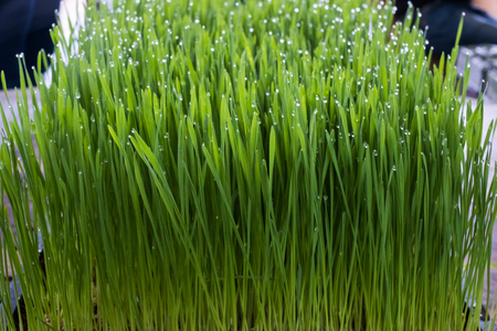 Fresh wheat grass organic with drop dew growing in nature. Stock Photo