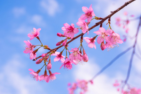 Cherry blossom pink sakura flowersoft focus sakura flower stock cherry blossom pink sakura flowersoft focus sakura flower on nature background stock photo mightylinksfo