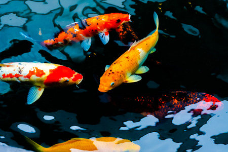 Fancy Carp are swimming in a pond with black background.