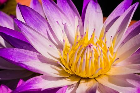 Beautiful lotus flower close up
