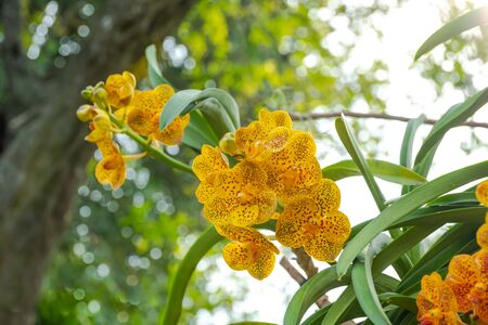 Beautiful Pink Rhynchostylis gigantea orchid Close up