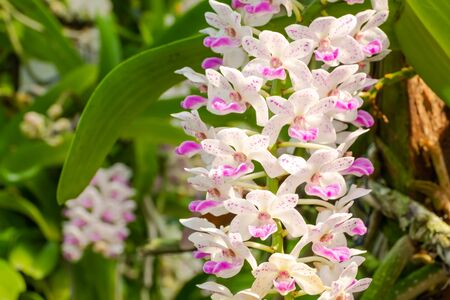 Rhynchostylis gigantea orchids are planted and bloomed in the garden.