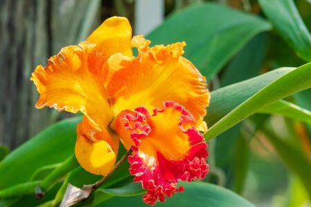 Cattleya orchid flower in the garden Reklamní fotografie