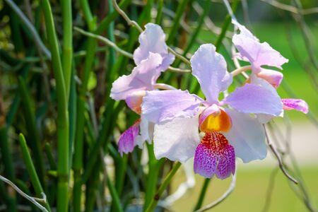 Cattleya orchid flower in the garden Stock fotó