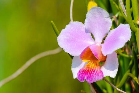 Cattleya orchid flower in the garden Stock Photo
