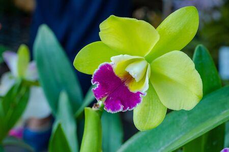 Cattaliya Orchid in the garden,Thailand Stock Photo