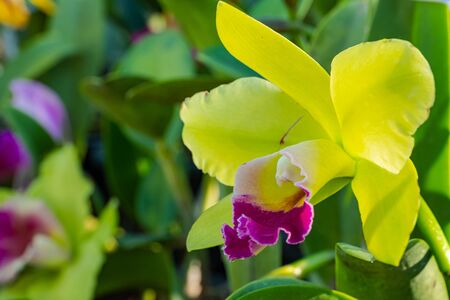 Cattaliya Orchid in the garden,Thailand Stock fotó