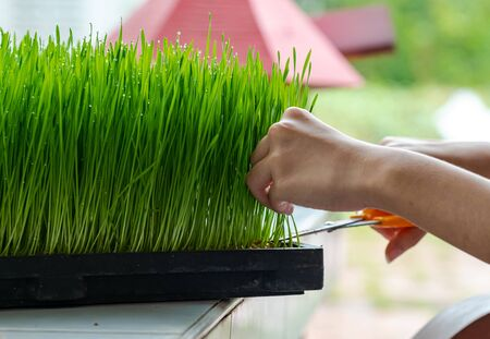 Fresh Wheatgrass plant organic for squeeze juice