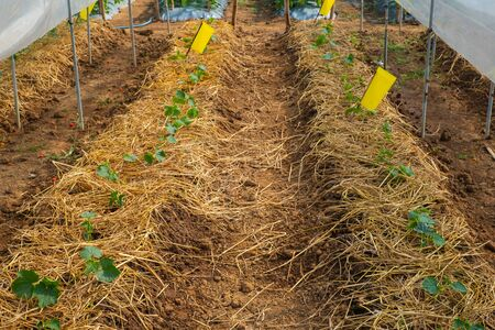 Vegetable plant in farm Stock Photo