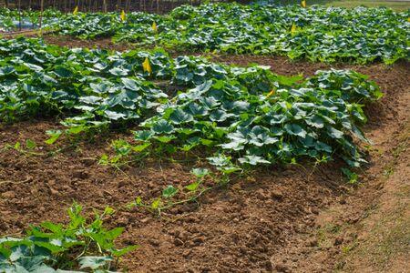 Vegetable plant in farm Stock fotó
