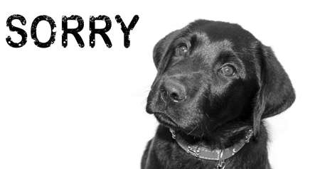 Black Labrador with the word Sorry  Banco de Imagens