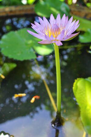 Purple lotus in a aquarium Stock Photo - 16457679