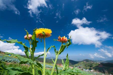 Yellow straw flower with blue sky background Stock Photo - 16457864