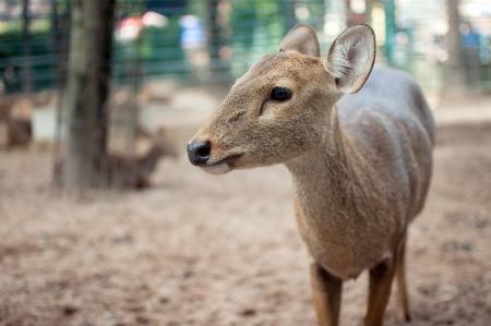 s horn: Brow-antlered Deer