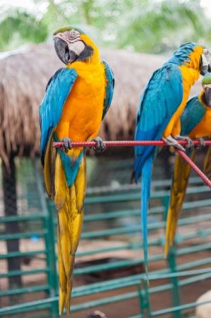 Blue and Yellow Macaw, Ara Ararauna, perched on pole Stock Photo - 17385117