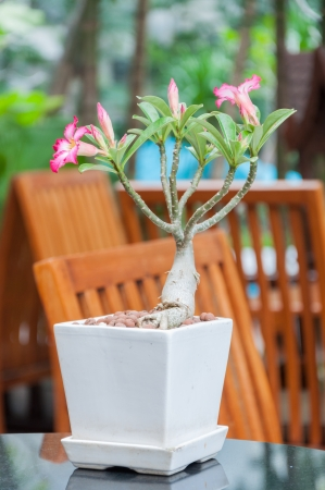 The Desert rose is in a white flowerpot  Stock Photo