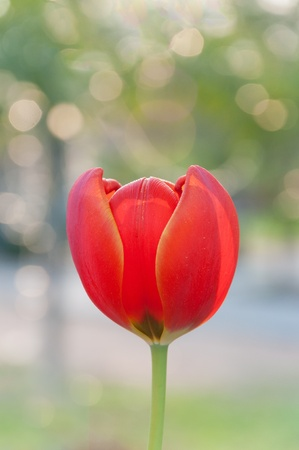 Red and yellow tulip with back light shot