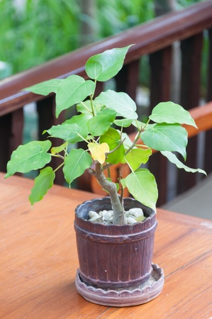Bodhi tree in pot tree. Stock Photo