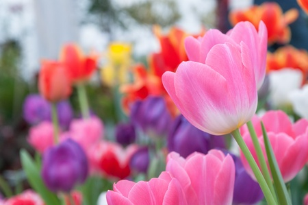 Pink tulip with colorful background Stock Photo