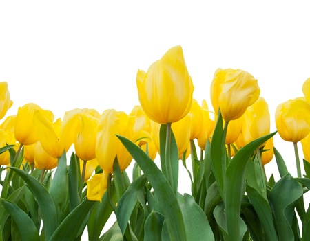 yellow tulips isolated on white  Stock Photo