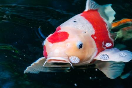 tropical fresh water fish: beautiful koi fish swimming in the pond