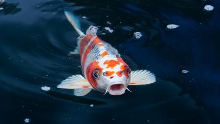 pez carpa: koi peces que nadan en el estanque
