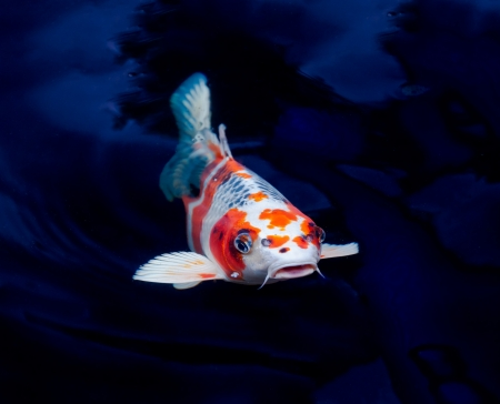 tropical fresh water fish: koi fish swimming in the pond