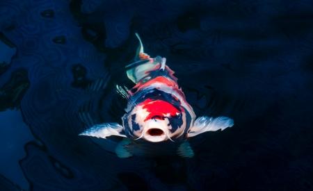 ornamental fish: Koi pesce che nuota nel laghetto