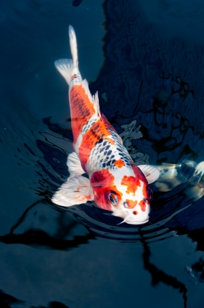 beautiful koi fish swimming in the pond photo