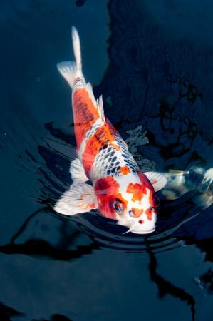 koi pond: beautiful koi fish swimming in the pond
