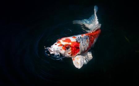 pez carpa: hermosos peces koi comer alimentos Foto de archivo