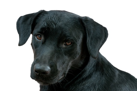 face of black labrador retriever isolated on white
