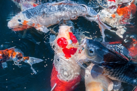 beautiful koi fish eat food in the pond photo