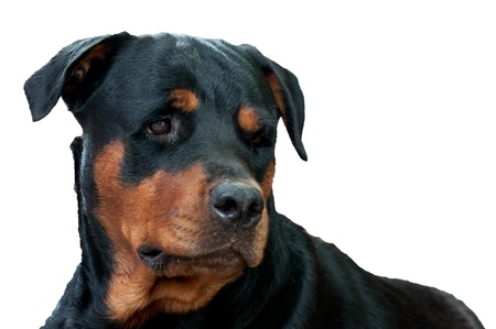 face of rottweiler isolated white Stock Photo