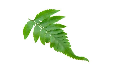 Green Fern Leave isolate on white Stock Photo